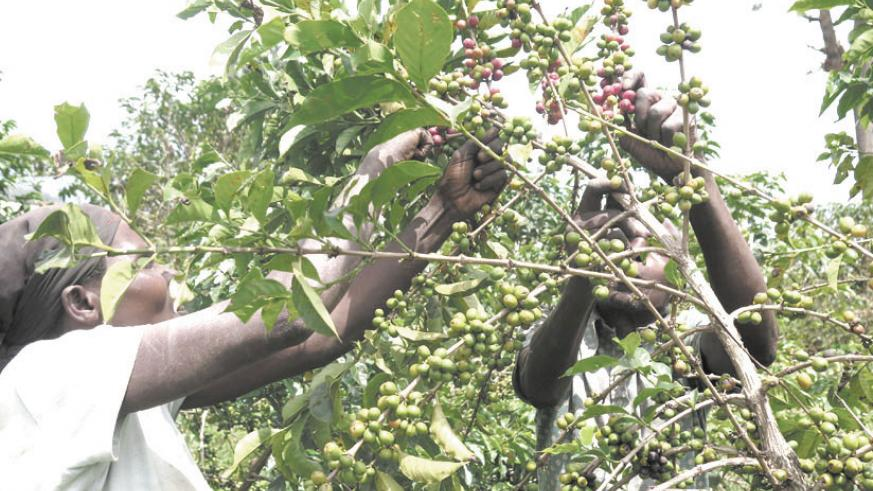 Farmers harvesting coffee; coffee prices have declined internationally affecting revenues (File)