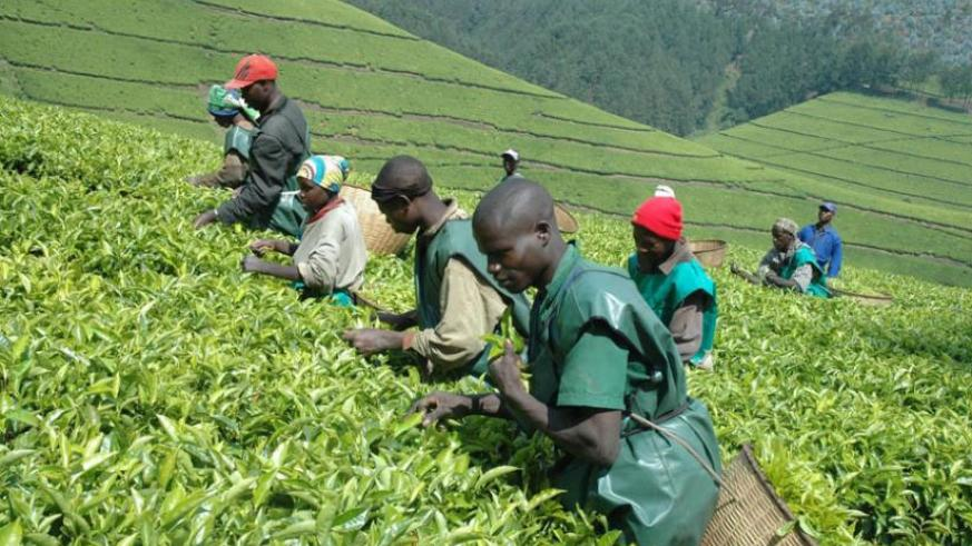 Farmers harvest tea. Experts say export receipts have declined due to a fall in prices on the international market. / File