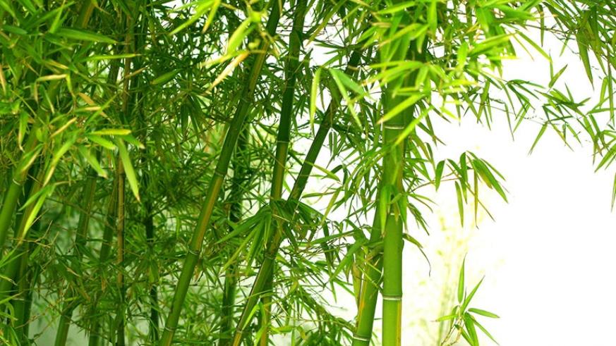 Bamboo are renowned for forming good canopy. / Internet photo.