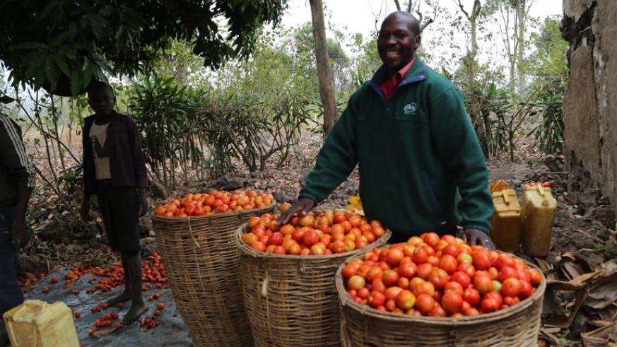 Ntiyigena after  making a good harvest, the farmer earns millions from tomato farming (Peterson Tumwebaze)