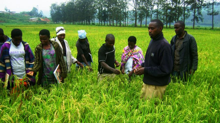 Rice farmers on a field study. KOICA provides technical support and trains farmers to enhance their capacity. / File.