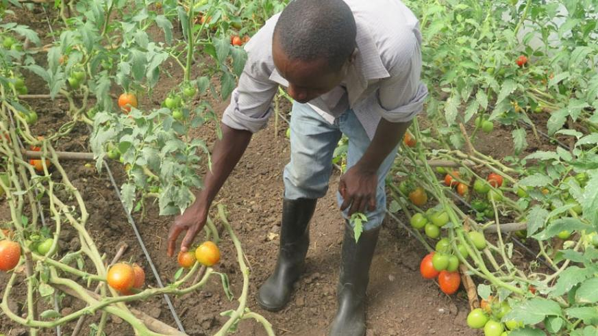 A farmer harvests tomatoes. Local banks say funding agribusiness is too risky, but this could soon change, thanks to the new system and involvement of insurance sector stakeholders....