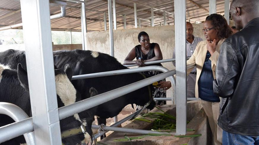 Minister Mukeshimana (2nd right) inspects some of the cows upon arrival from Ireland on Tuesday. / Steven Muvunyi