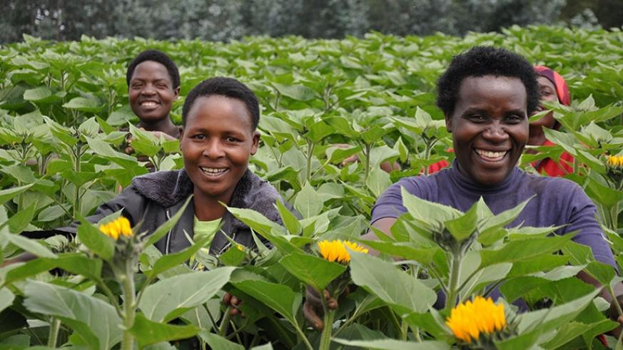Bloom Hills workers attend to flowers. The firm will participate in the 17th IFTF in Amsterdam. (P. Tumwebaze.)