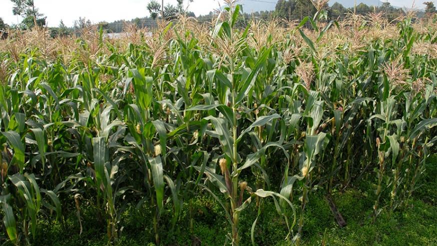 A maize plantation in the countryside. There is an ongoing debate on whether African countries, including Rwanda, should embrace genetically modified organisms to boost crop produc....