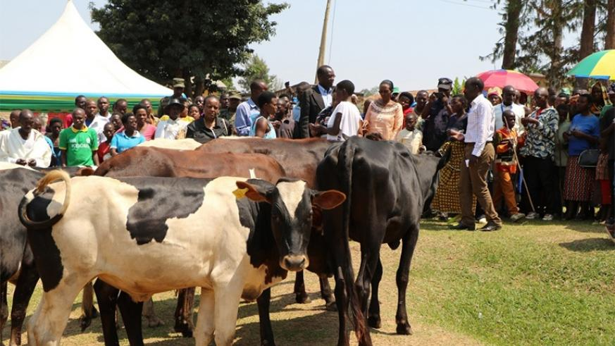 Some of the cows that were donated to cooperatives in Huye District. (File)