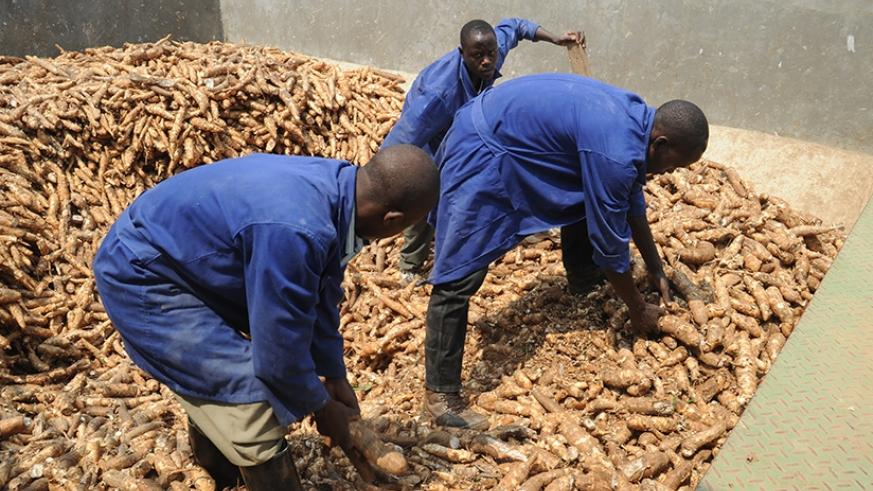 Workers sort cassava before it is processed at Kinazi Cassava Plant in Ruhango District. File.
