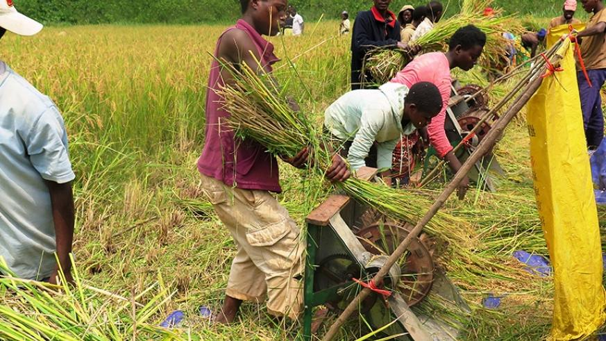 Farmers engage in rice threshing in the Rubona Marshland in Rusatira Sector, Huye District on Wednesday, December 17, 2015.  (File)