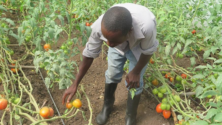 A man tends to tomatoes in his farm. Agriculture was the second biggest contributor to GDP growth in Q3 of 2016, according to a recent NISR report. File.