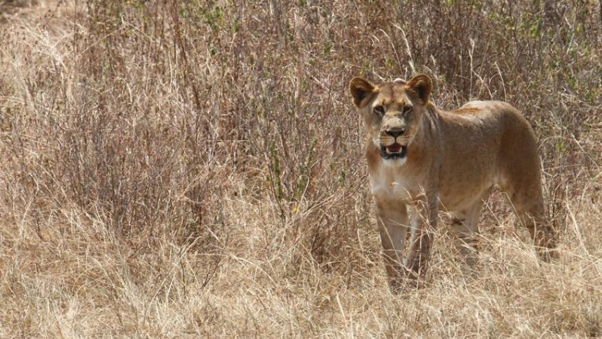 In the wilderness, a young lioness keeps a distance. (File)