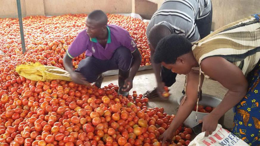 Farmers sort tomatoes. Agro-processing is central to Rwanda's export strategy. / Courtesy
