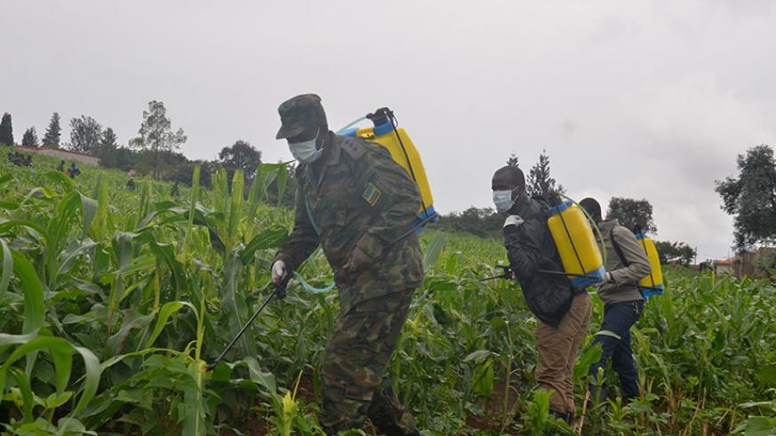 RDF personnel and Kicukiro residents spray pesticide in a maize plantation in Niboye Sector to fight armyworm on Thursday. / Courtesy