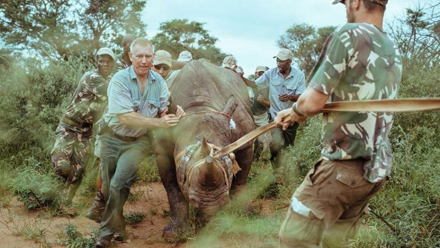The capture team assists in navigating a rhino. (Courtesy photos)
