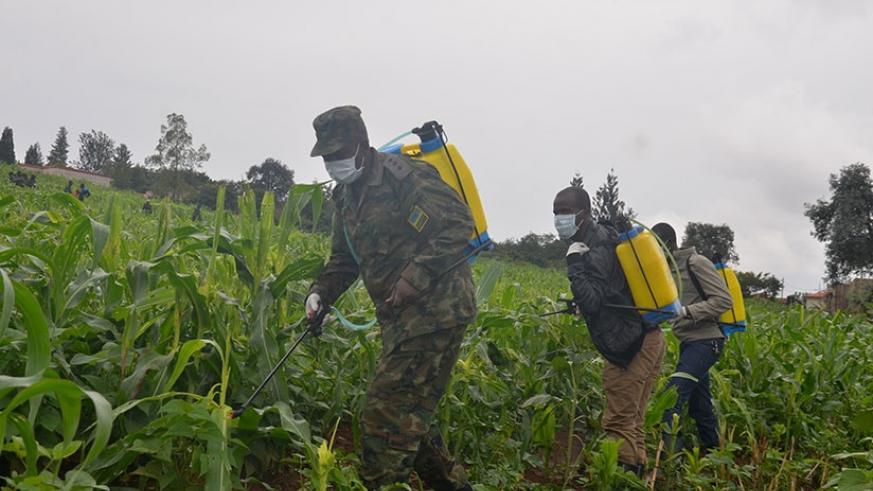 Rwanda Defence Force have been instrumental in the fight against the destructive fall armyworm. (File)