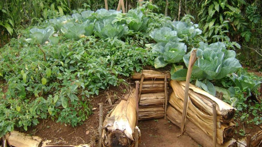 A kitchen garden done by students in Musanze District.  (File)