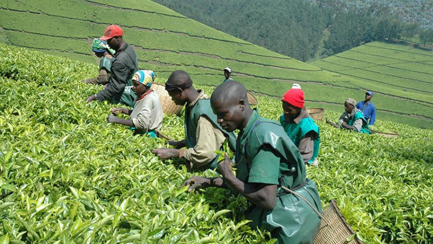 Tea pickers at work. The country's tea has been recognised for quality at regional contest. / Internet photo
