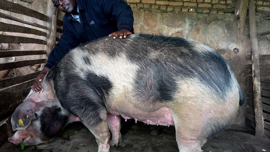 The entrepreneur has found 'gold' in pig farming, amassing assets worth Rwf 250 million in six years. (Photos by Emmanuel Ntirenganya)