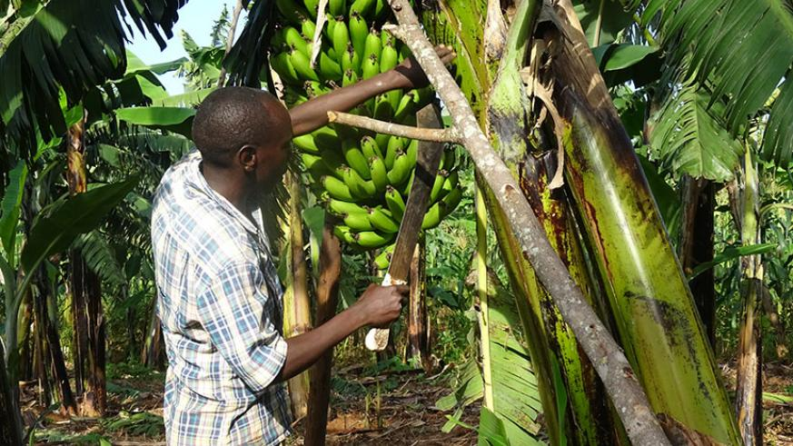 Rusanganwa in his banana farm in Rukara Sector, Kayonza District. / Jean d'Amour Mbonyinshuti