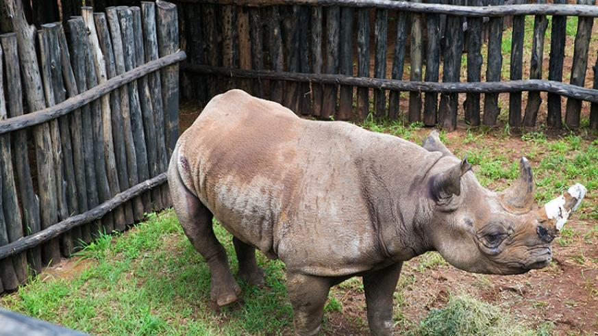 Black rhinos were returned to Akagera park this month to complete the 'Big 5'. / File
