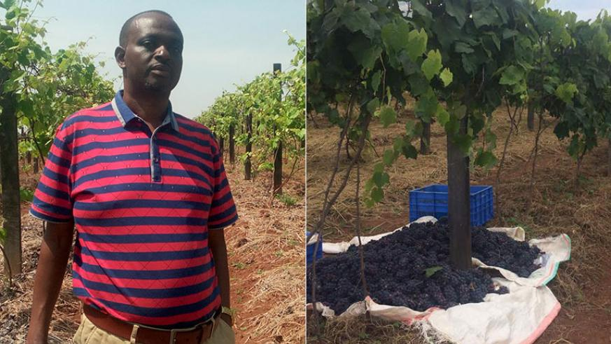 LEFT: Ntampaka in his vine yard. The general trader turned grape farmer currently produce juice and red wine. | RIGHT: Harvested grapes await packaging and transportation for proce....