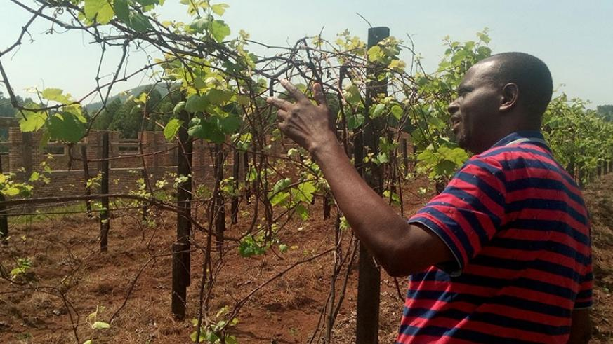 The only grapes farmer in Huye District, Theogene Ntampaka shows how grapes are pruned after being harvested to prepare them for a better harvest next season. (File)