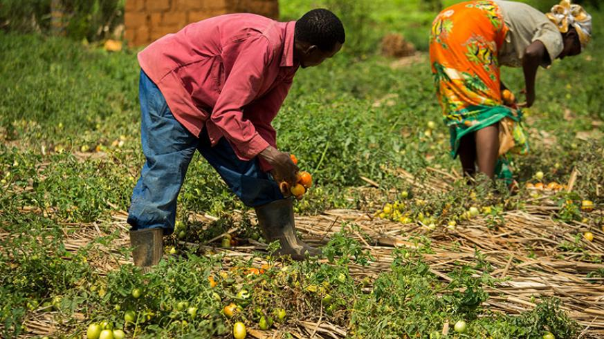 Workers harvest tomatoes at Xavier Baributsa's farm in Nyakariro, Rwamagana District. The new initiative by government seeks to help farmers secure insurance cover for their crops ....