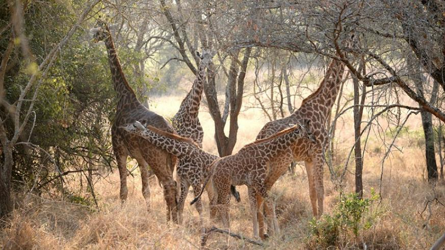 Giraffes in Akagera National Park last weekend. (Courtesy)