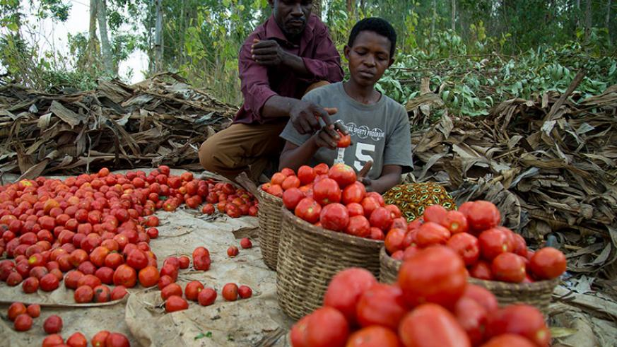 Samuel Bana together with his worker park tomatoes. TKisambira.