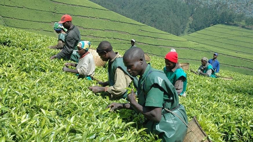 NAEB is working to support tea firms and farmers in a view to boost production, quality and exports. / Net.
