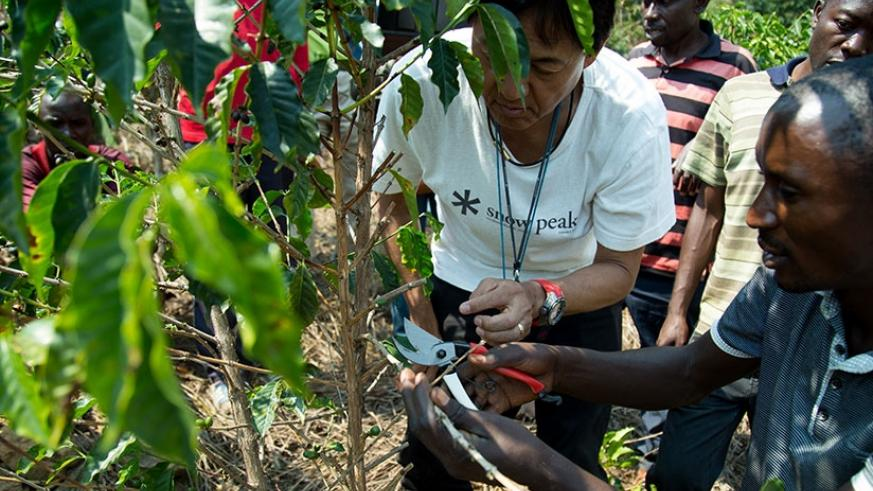 Kawashima shows Nyamaseke farmers how to prune coffee trees. The expert is working to improve yields and quality. Timothy Kisambira.