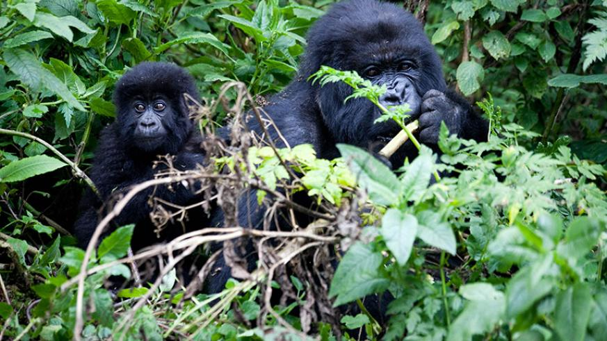 Mountain gorillas feed inside Virunga  National Park. After a decade of conservation efforts, the population of the endangered rare mountain gorillas has grown by 26.6 per cent. Bu....