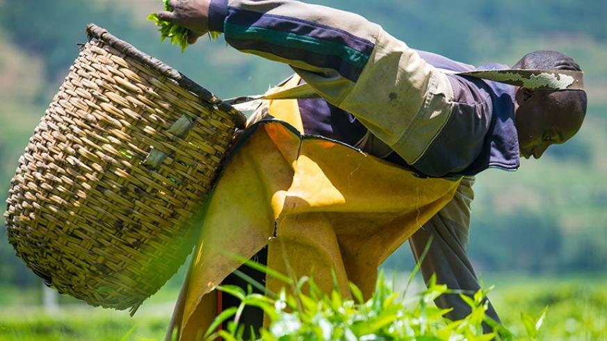 A farmer picks tea leaves in one of the farms in Byumba. Timothy Kisambira.