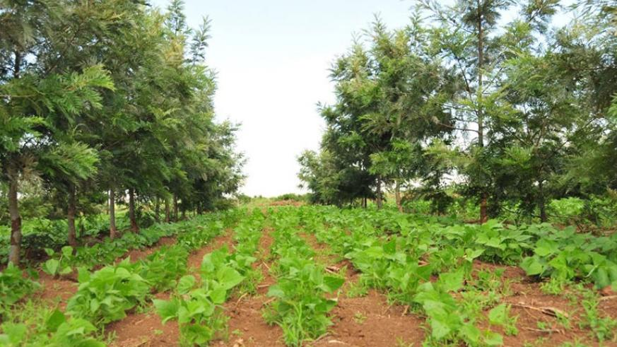 A long-term agro-forestry project in Bugesera District. (Net)