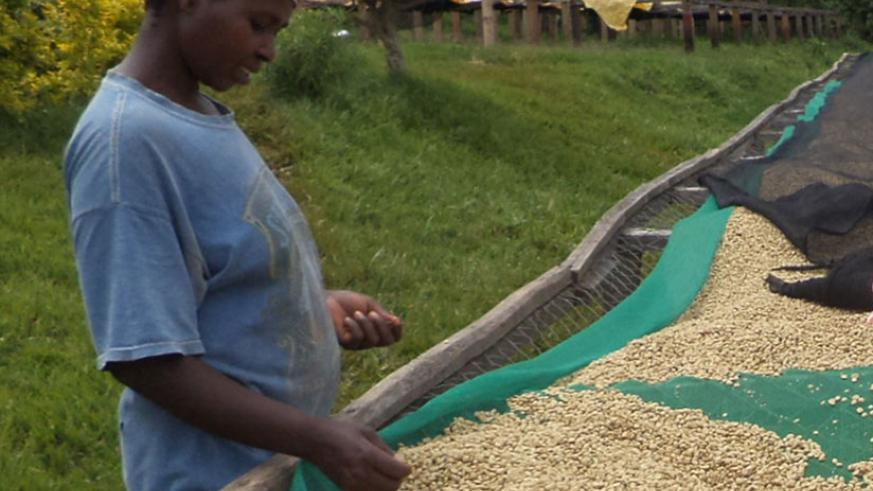 Fully-washed coffee by Rusizi, Lisa and Mashesha coffee washing stations was selected among the best globally. / File