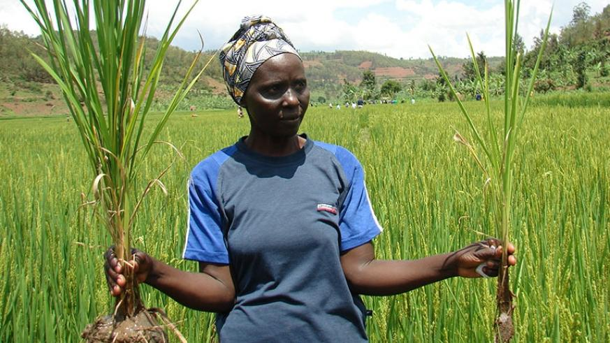 Uwizeyimana, one of the farmers whose yields increased, shows  how one rice plant has more ears with grains than the other without blended fertilisers. 