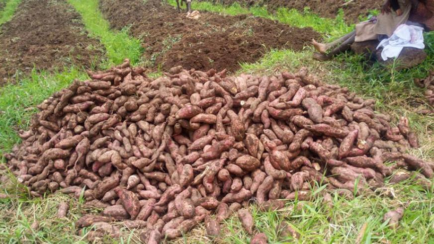 Habumuremyi sells most of the potatoes he produces to schools. / Lydia Atieno