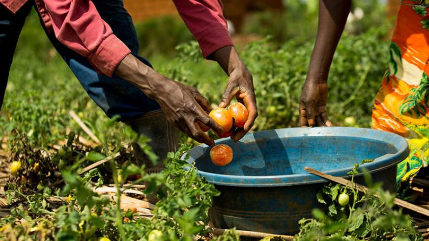 Farmers harvest tomatoes from a farm in Rwamagana District. / Timothy Kisambira