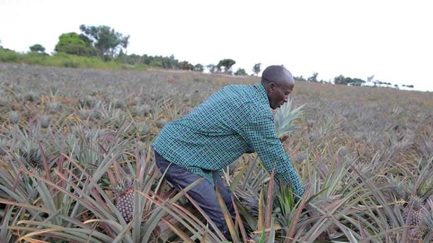 A pineapple farmer in Ngoma district, the district says the crop presents opportunities for processing.Photo Sam Ngendahimana.