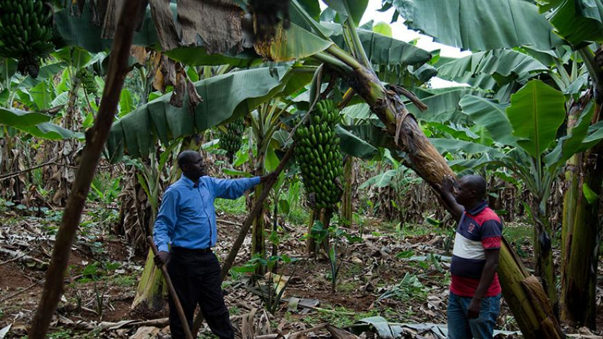 Theogene Bimenyimana, the head of a banana cooperative in Bukule Sector in Gicumbi District, checks on the group's farm with other farmers. / Timothy Kisambira