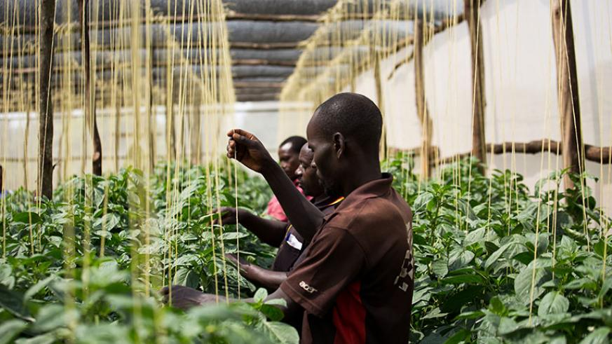 Rwamagana farmer Xavier Baributsa (middle) and his workers attend to green pepper in a greenhouse. SME ventures like his find it hard to get funding from commercial banks. The new ....