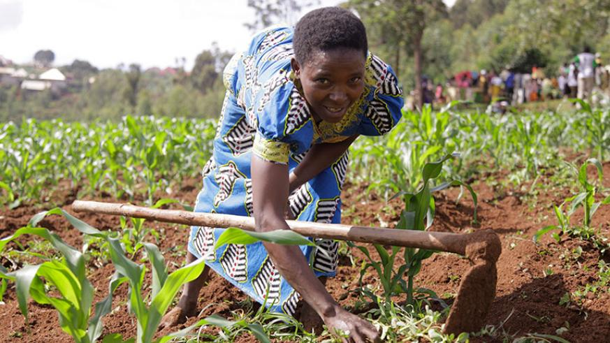 A woman weeds a maize plantation in Mpaza marshland where some 600 cooperative members farm on 50 hectares of land. / Courtesy