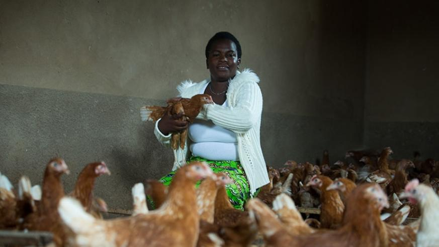 Niyonsaba Mukasakindi, a Businesswoman based in Rulindo District tends to her chicken at her farm in Mbugo. The government plans to add 4 million chickens by 2023 to the poultry se....