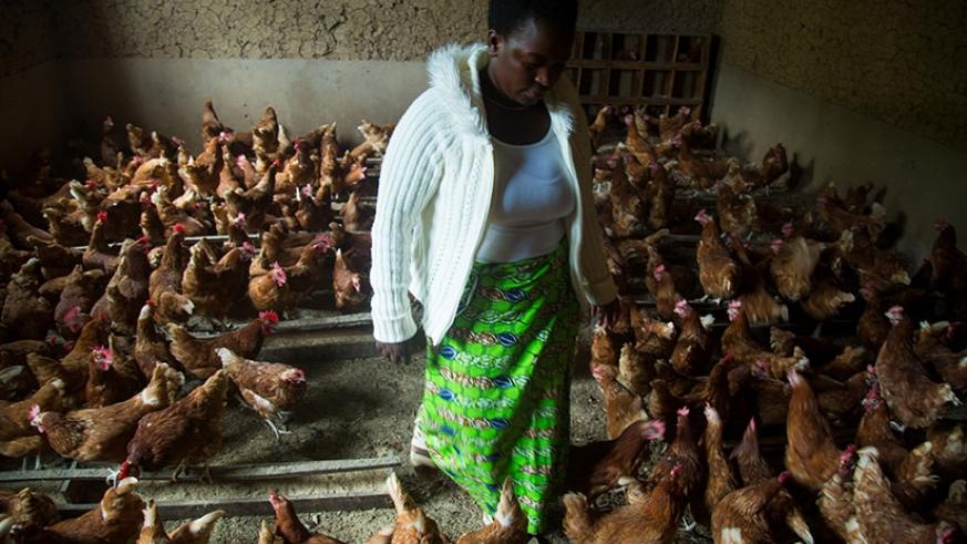 Niyonsaba Mukasakindi a poultry farmer in Mbugo Rulindo District tending to her birds.  (Photos by Timothy Kisambira)