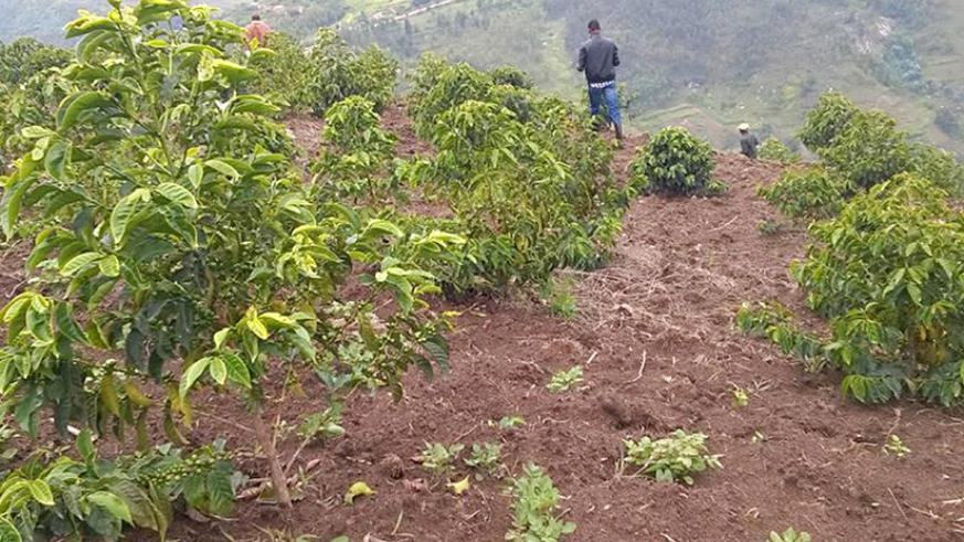 One of the coffee plantations handed over to farmers.  / Courtesy.