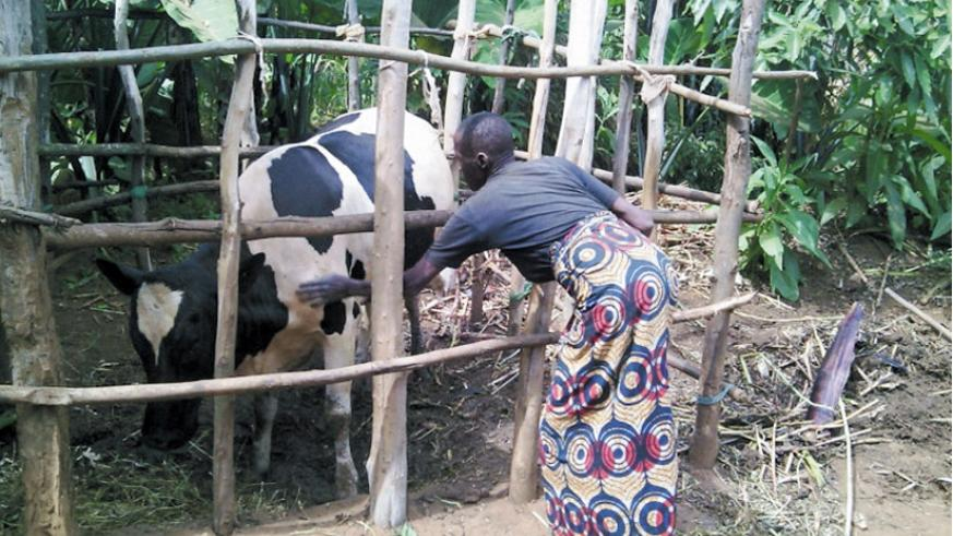 Livestock development through One Cow per Poor Household programme (Girinka) has been among the important activities carried out by MINAGRI since 2006.File
