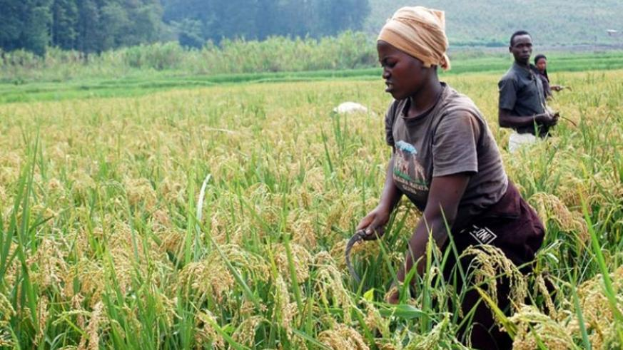 Rice farmers in Rubona in Southern Province harvest their produce. File.