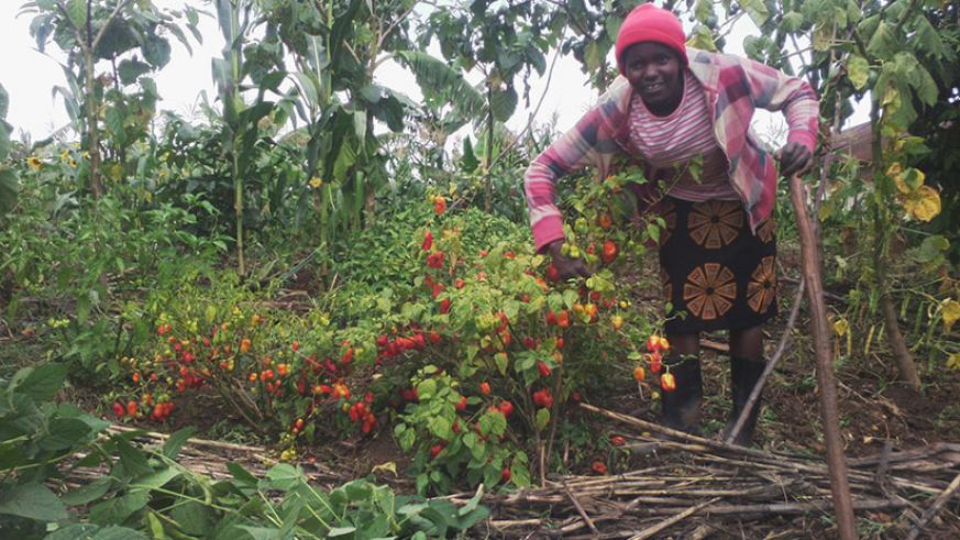 Mukazigama examines some of the chilli plants. The young farming entrepreneur makes over Rwf300,000 per month from the project. / Kelly Rwamapera