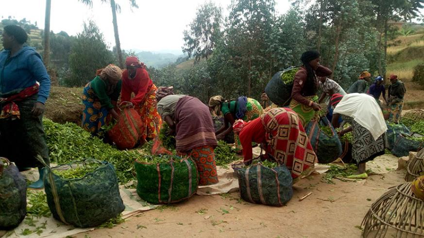 Women tea growers pack green leaf tea in preparation for transportation to the processing plant. / All photos: Remy Niyingize