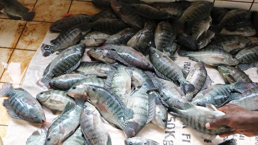 Fish harvested from cages by Jarama Cooperative in Ngoma District. / Michel Nkurunziza.