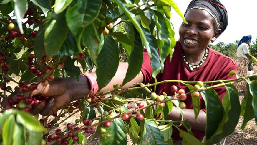 A woman picks coffee. Farmers want to be consulted during the budget-making process.  (Courtesy)